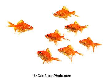 goldfisch, gruppe, führer