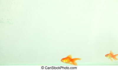goldfisch, schwimmender, essende