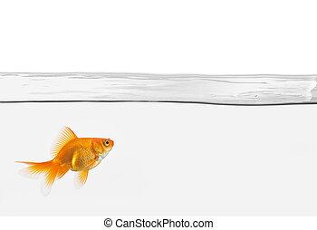 goldfisch, wasser, ledig, freigestellt