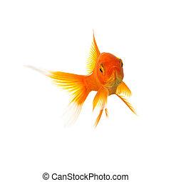 Goldfish - A gold fish isolated on white background. Taken ...