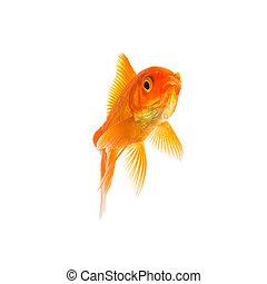 Goldfish - A gold fish on white background. Taken in Studio ...