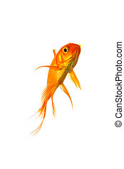 Goldfish - A goldfish swims in water on white background. ...