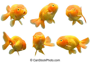 Goldfish - A shot of six different poses of a lion head ...