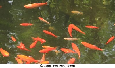 goldfish and carp - I took many goldfishs which swam in a...