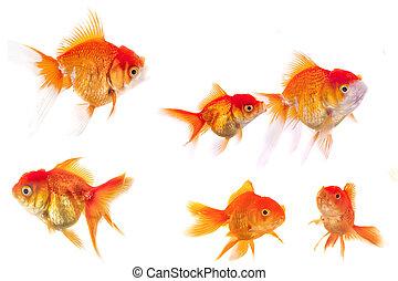 goldfish animal isolated on white background