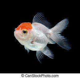 goldfish, blanco, fondo negro