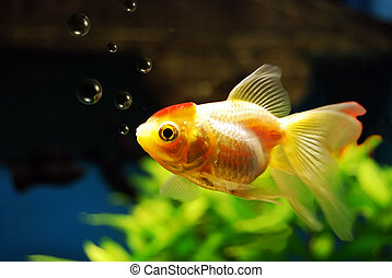 Goldfish blowing bubbles - A goldfish in an aquarium blowing...