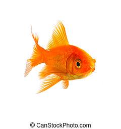 goldfish breed - A goldfish isolated on white background. ...
