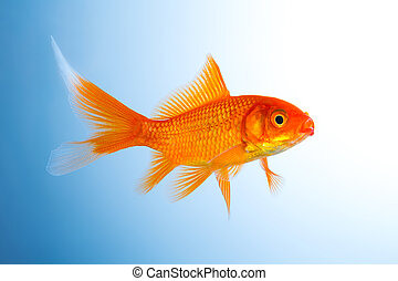 Goldfish breeding - A goldfish on blue background. Taken in ...
