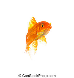 Goldfish (Carassius auratus) - A gold fish isolated on white...