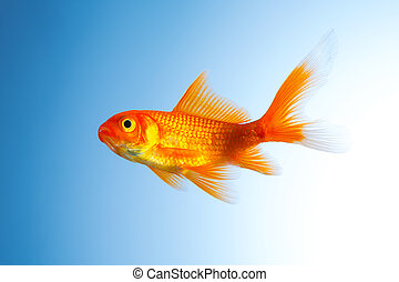 Goldfish (Carassius auratus) - A gold fish on blue...