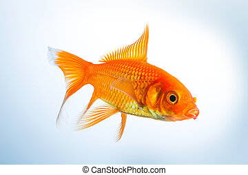 Goldfish (Carassius auratus) - A gold fish underwater on...