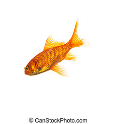 Goldfish (Carassius auratus) - A goldfish on a white...