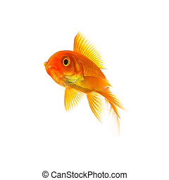 Goldfish Carassius auratus - A goldfish on white background....