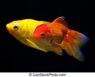 Goldfish (Carassius auratus auratus) swimming underwater on...