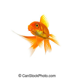 Goldfish Carassius auratus on white - A goldfish (Carassius...