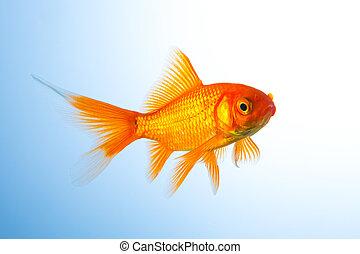 Goldfish (Carassius auratus) underwater