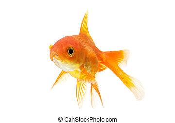 goldfish closeup isolated on white