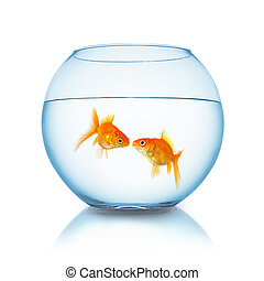 goldfish couple kiss in a fishbowl