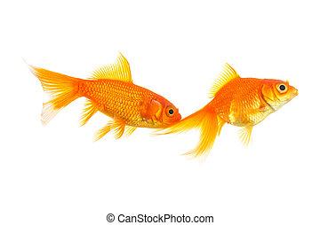 goldfish couple on white