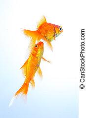goldfish couple swims