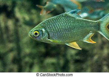 Goldfish Cyprinidae