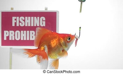 Goldfish eating bait - Fish eat the bait of a large hook,...
