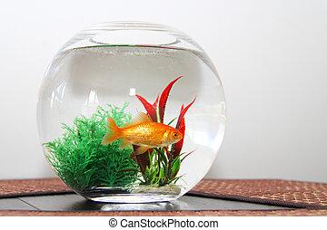 goldfish, em, aquário