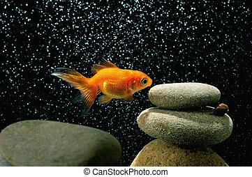 goldfish, en, acuario