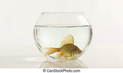 goldfish, en, tazón de fuente de los pescados