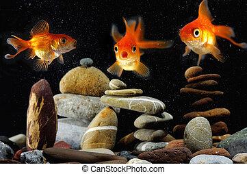 goldfish, engraçado, aquário