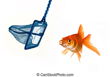 Goldfish escape - Goldfish being caught or perhaps escaping ...