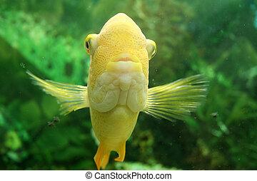 Goldfish Fish Tank - Front view of gold fish in fishtank.