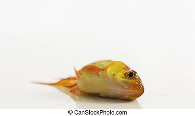 goldfish flapping without water, isolated in white
