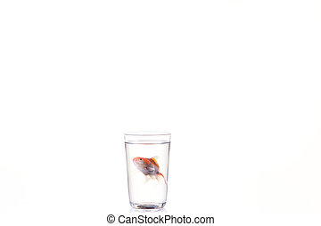 Goldfish floating in glass water and on a white background,...