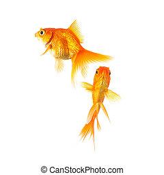 goldfish friends on white