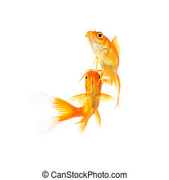 goldfish friends on white - A group of two goldfishes ...