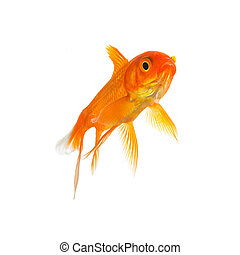Goldfish from a ped shop - A goldfish in water on white...