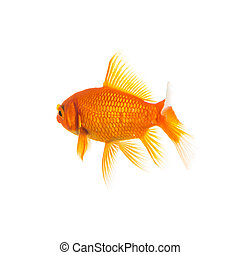 Goldfish from behind on white
