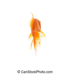Goldfish from the rear - A gold fish from behind on white ...