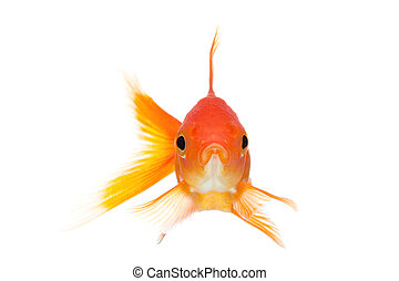 goldfish front view isolated on white