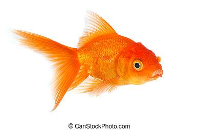 Goldfish - Gold fish isolated on a white background.