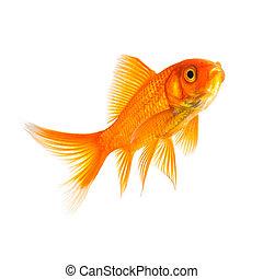 Goldfish in a aquarium