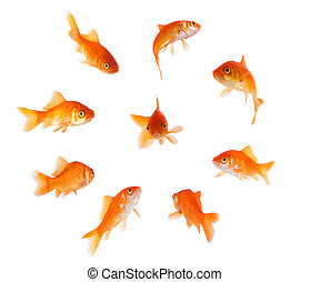 goldfish in a circle