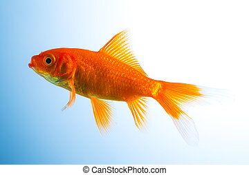 Goldfish in a fish tank - A goldfish underwater on blue ...