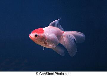 goldfish in a fish tank