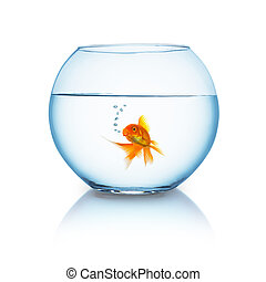 goldfish in a fishbowl on white