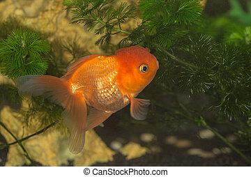 Goldfish in aquarium close up (Carassius auratus auratus)