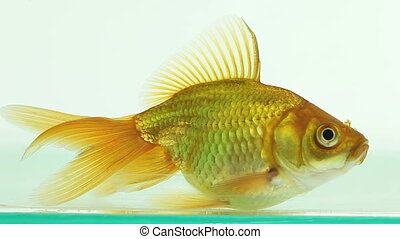 goldfish in clear aquarium moves slowly