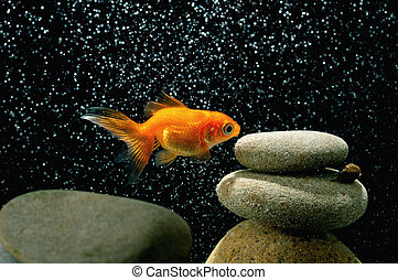 goldfish in aquarium over well-arranged zen stone and nice...